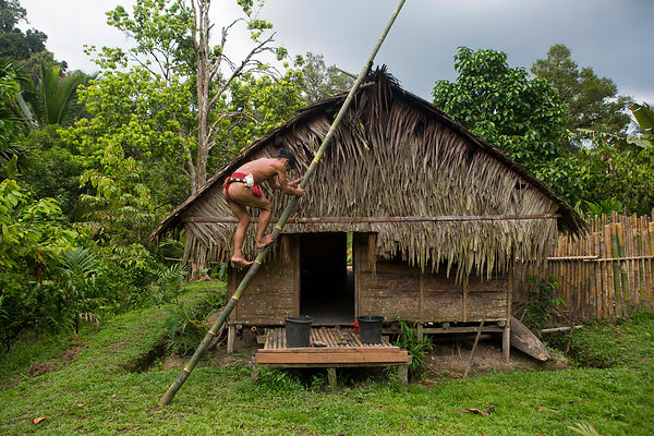 Amanlaeru, 47, uses a large bamboo as a ladder to climb the roof of his house (uma) to repair it with Sagoutier (Metroxylon s...