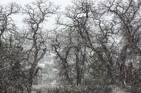 Snow Falling on Oaks in Coral Pink Sand Dunes State Park