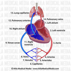 The cardiovascular system (British)