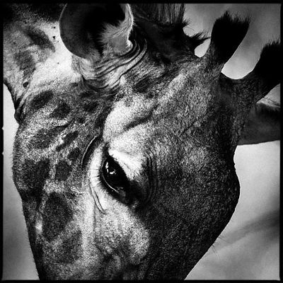 6299-Eye_of_giraffe_Laurent_Baheux