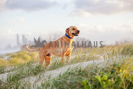 Rhodesian Ridgeback mix standing in grass on beach dunes