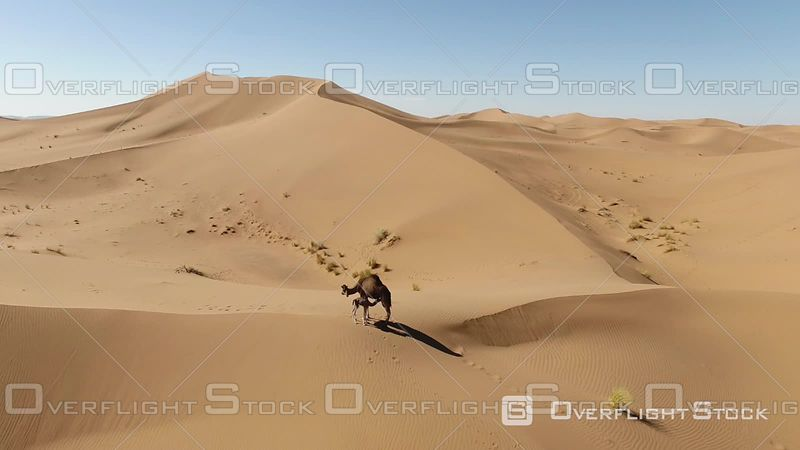 Aerial View of Erg Chegaga. a Juvenile Camel in the Dunes, Mhamid, Morocco - Filmed by Drone
