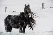 Fell Pony grazing in snow storm, Cumbria.