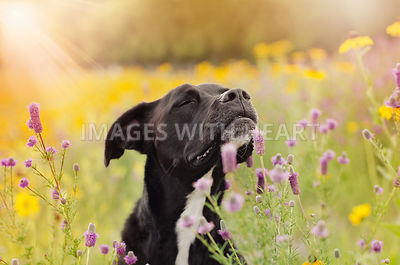 Black dog sniffing flowers in sun