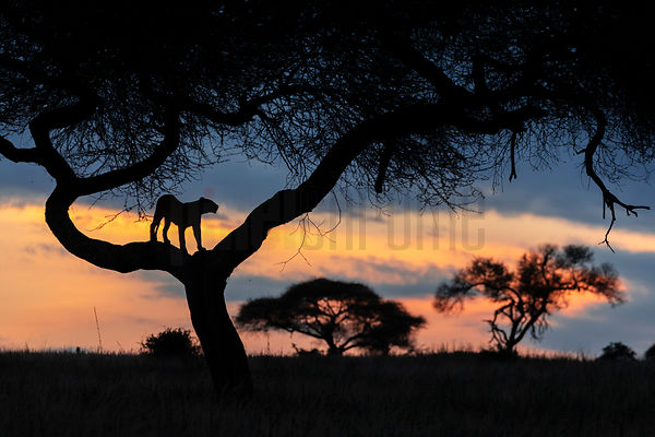 Lion Stands in an Acacia Tree at Sunset