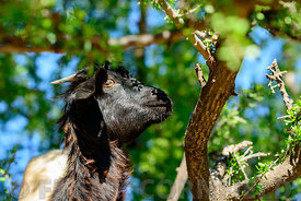 Goats eating from Argan tree