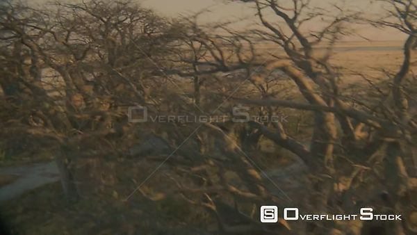 Aerial wide angle shot over tops of baobab trees on edge of salt pan in desert to vast grass plains beyond Botswana