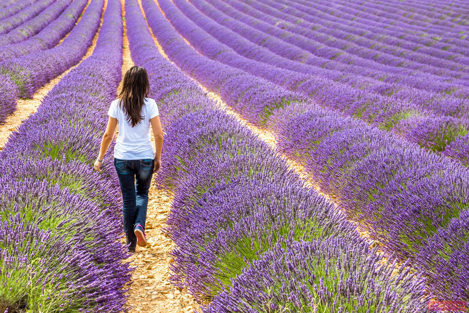 Tourist walking in lavender field in summer, Provence, France