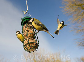 Great Tits Parus major at fat feeder in garden Norfolk