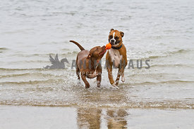 Happy Pit Bull and Boxer retrieving orange toy from water