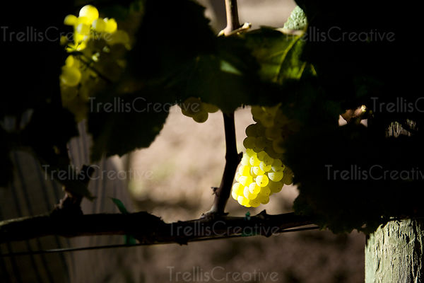 A cluster of ripe chardonnay grapes is illuminated by tractor lights