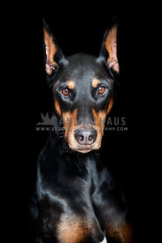 Dramatic portrait of a Doberman Pinscher