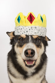 Husky Cross Dog Wearing Crown