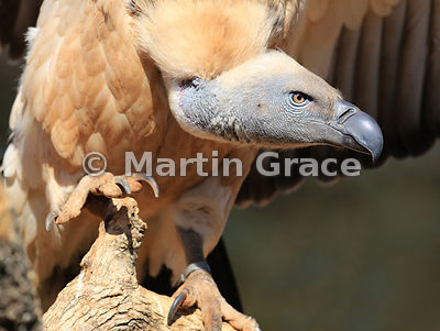 Cape Griffon Vulture (Kolbe's Vulture) (Gyps coprotheres), North West Province, Republic of South Africa