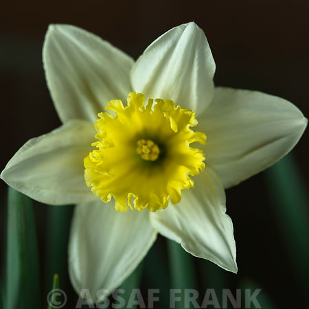 Daffodil flower, close-up