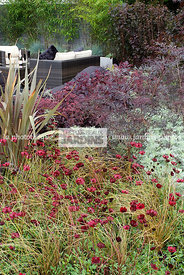 Massif pourpre : Cosmos atrosanguineus 'Chocamocha' (cosmos chocolat), Carex comans 'Bronze Perfection', Phormium tenax (Lin ...
