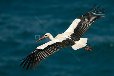 White stork (Ciconia ciconia) in flight over sea, Cabo Sardão (Cape), Alentejo, Natural Park of SW coast, Portugal
