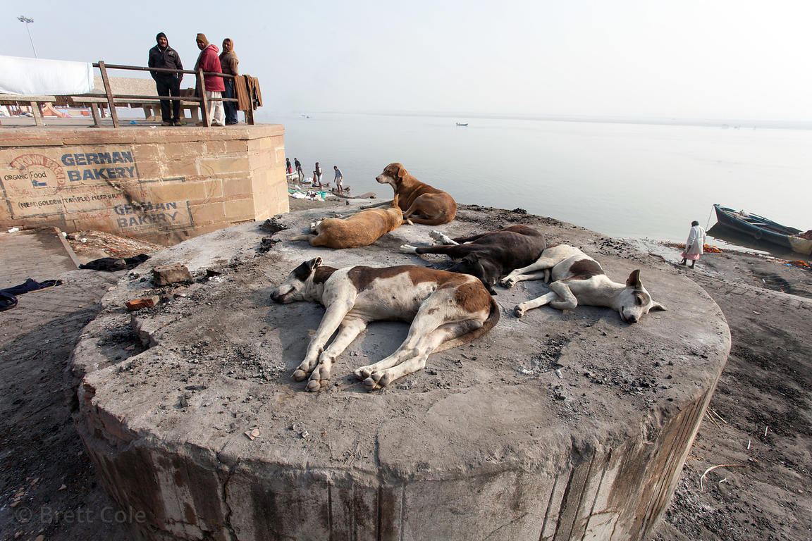Stray dogs stay warm by laying on warm ashes at Harish Chandra burning ghat, Varanasi, India. About 200 people a day are crem...