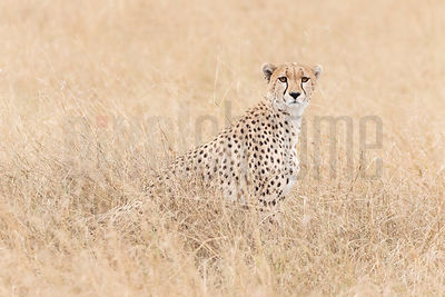 Portrait of a Cheetah in Tall Grass