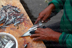Detail of fisherman cleaning Peruvian anchovetas (Engraulis ringens) in fishing docks, Arica, Region XV, Chile
