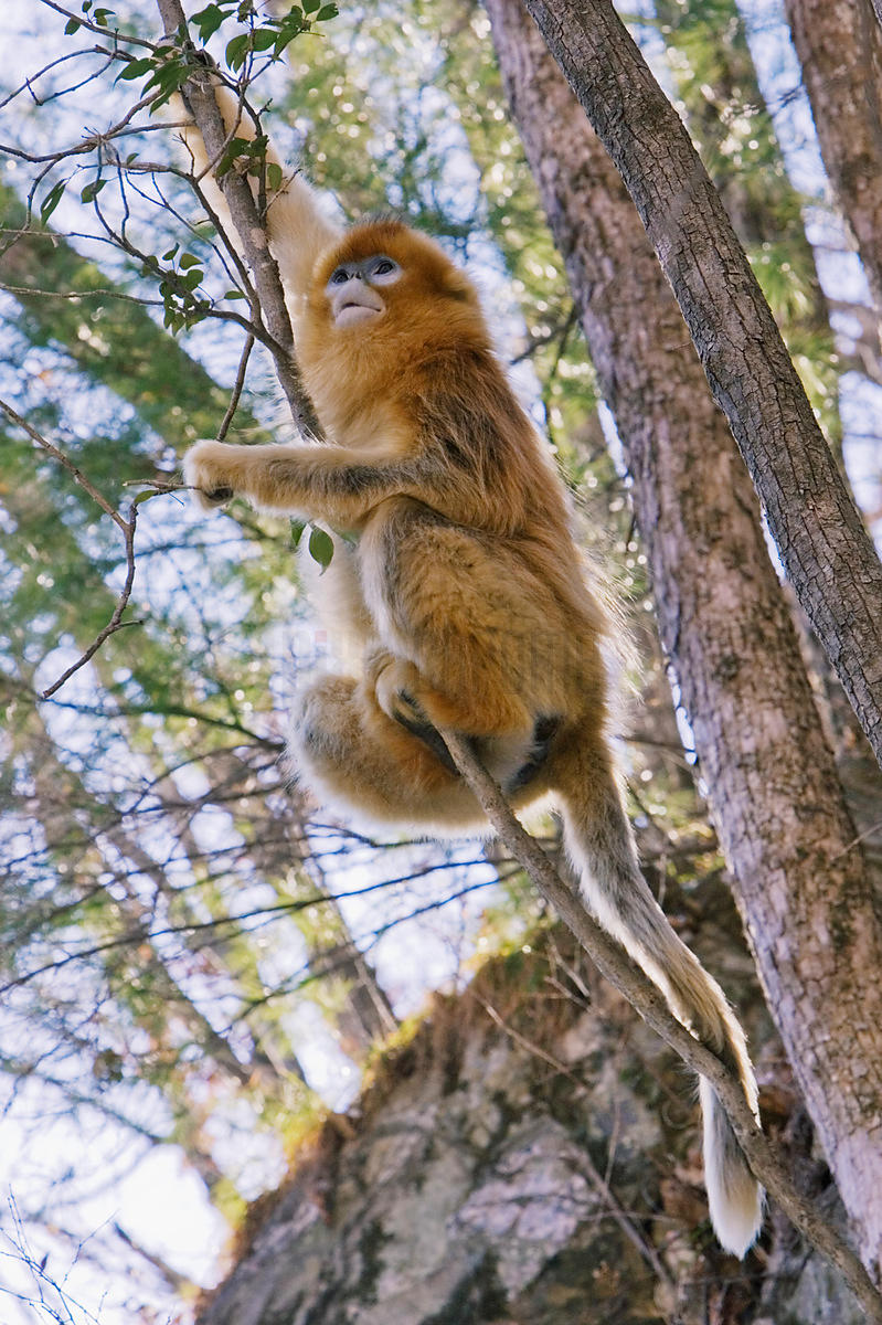 Golden Monkey, Qinling Mountains, Shaanxi Province, China