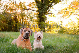 mastiff dog and cairn terrier in feild with sun  and autumn trees