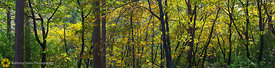 Fall Forest Panorama #1