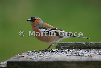 Male Common Chaffinch (Fringilla coelebs), Kingussie, Scottish Highlands