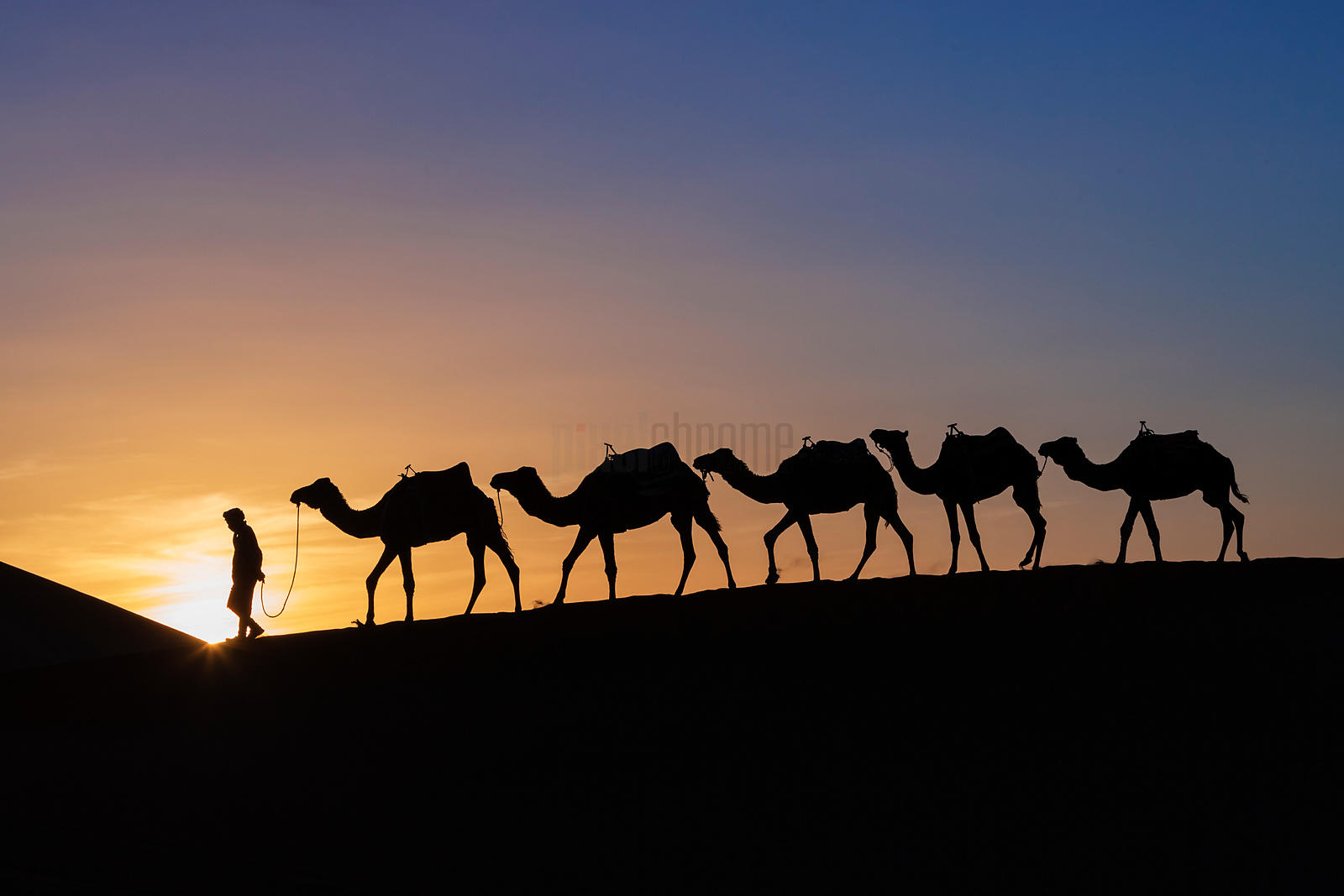 A Berber Leads a String of Camels through the Sahara Desert at Sunset