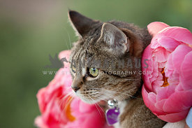 Cute-Petite-Senior-Cat-with-Pink-Peony-Flowers