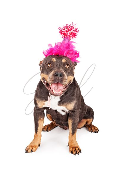 Happy Birthday Dog In Party Hat