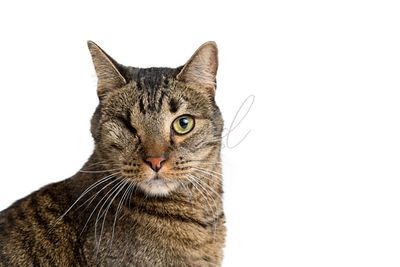 Closeup of tabby cat with one eye