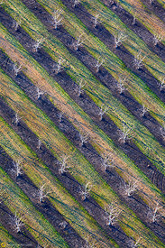 Walnut Orchards from the Air #4