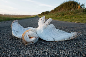 Barn Owl Tyto alba killed by car on country lane North Norfolk