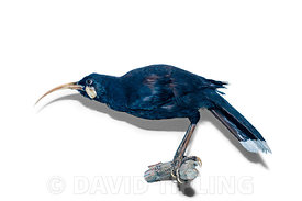 Huia Heteralocha acutirostris North Island New Zealand now extinct