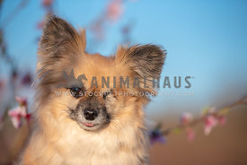 head shot of one eyed long haired chihuahua mix