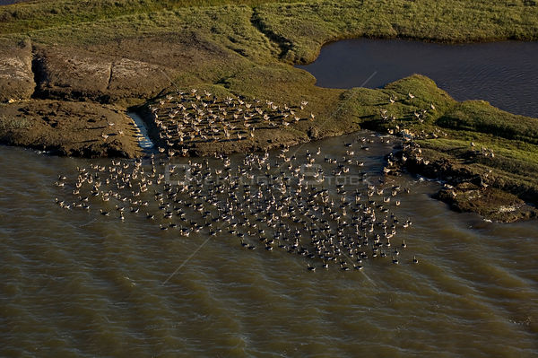 Flock of White-fronted geese (Anser albifrons) near the Colville River delta, Beaufort Sea, Arctic Alaska