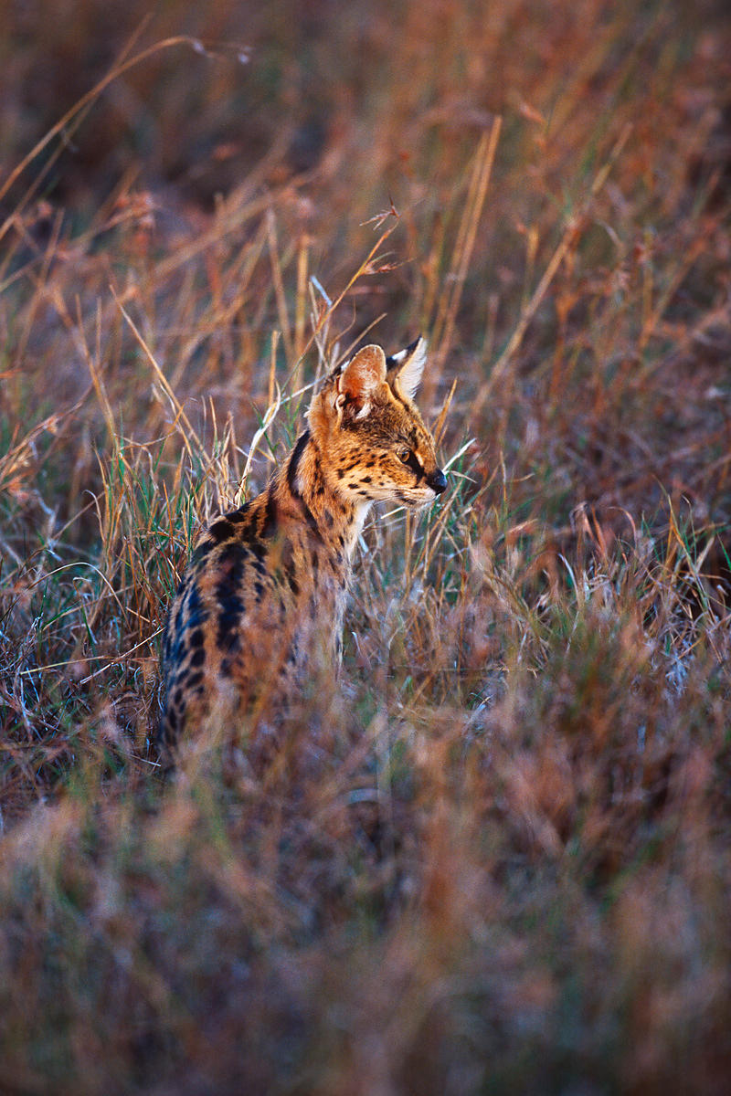 Serval Looking for Prey at Dusk