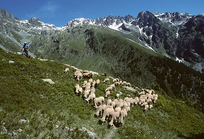 Domestic sheep (Ovis aries), herd of Arles Merino sheep moving from their summer pasture on the mountains, montee aux Alpages...