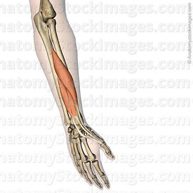 forearm-hand-thumb-musculus-extensor-pollicis-longus-brevis-abductor-pollicis-longus-muscle-metacarpi-i-proximal-distal-phala...