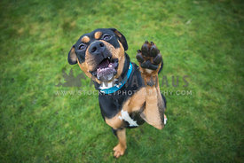 Rotweiler giving High Five
