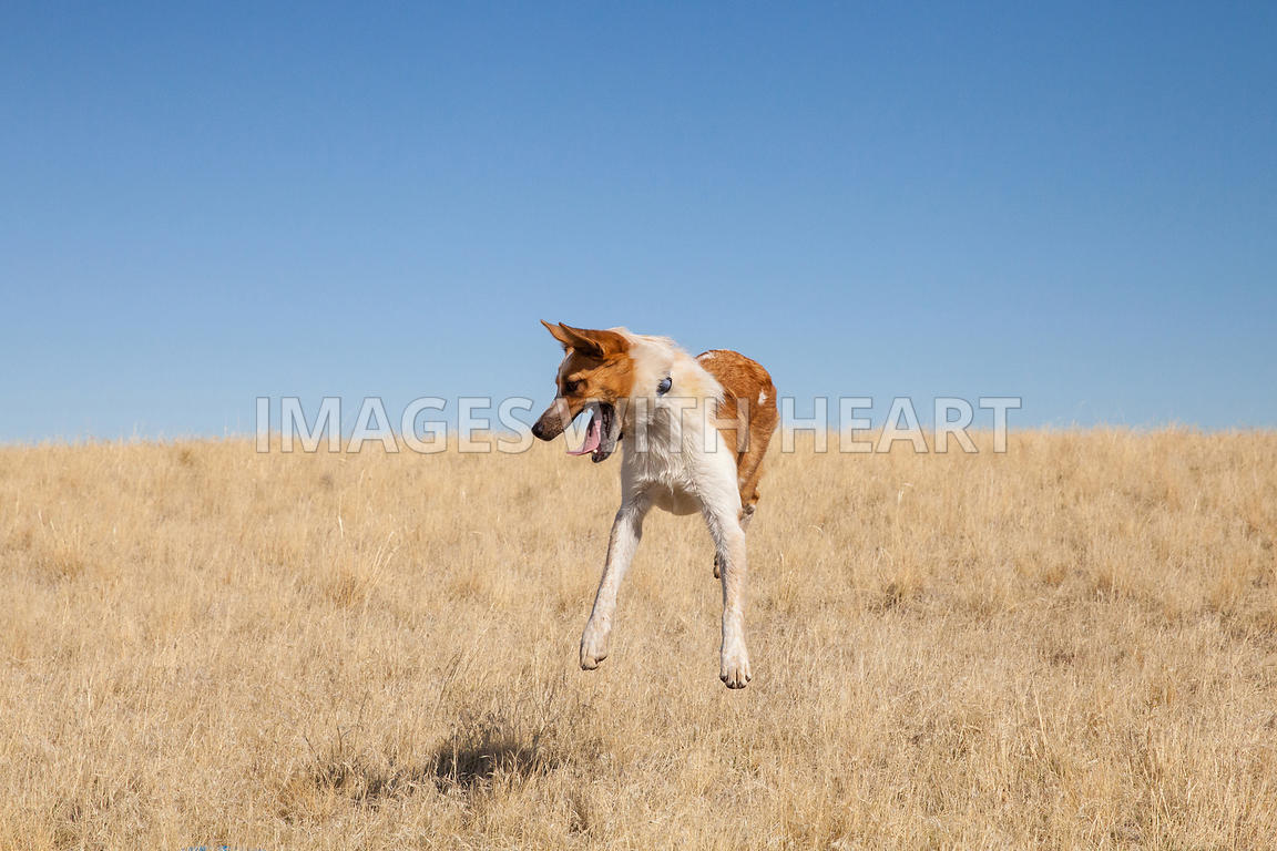 medium dog jumping straight up in field