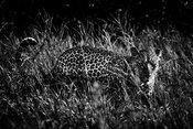 02364-Leopard_Laurent_Baheux