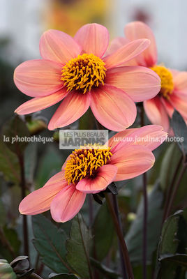 Dahlia 'Happy Kiss'. BallDucrettet