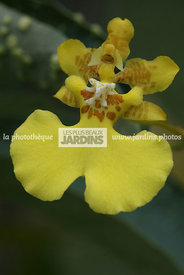 Oncidium (orchidée)