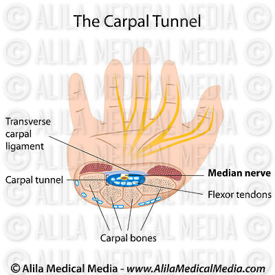 Carpal tunnel anatomy, labeled diagram.