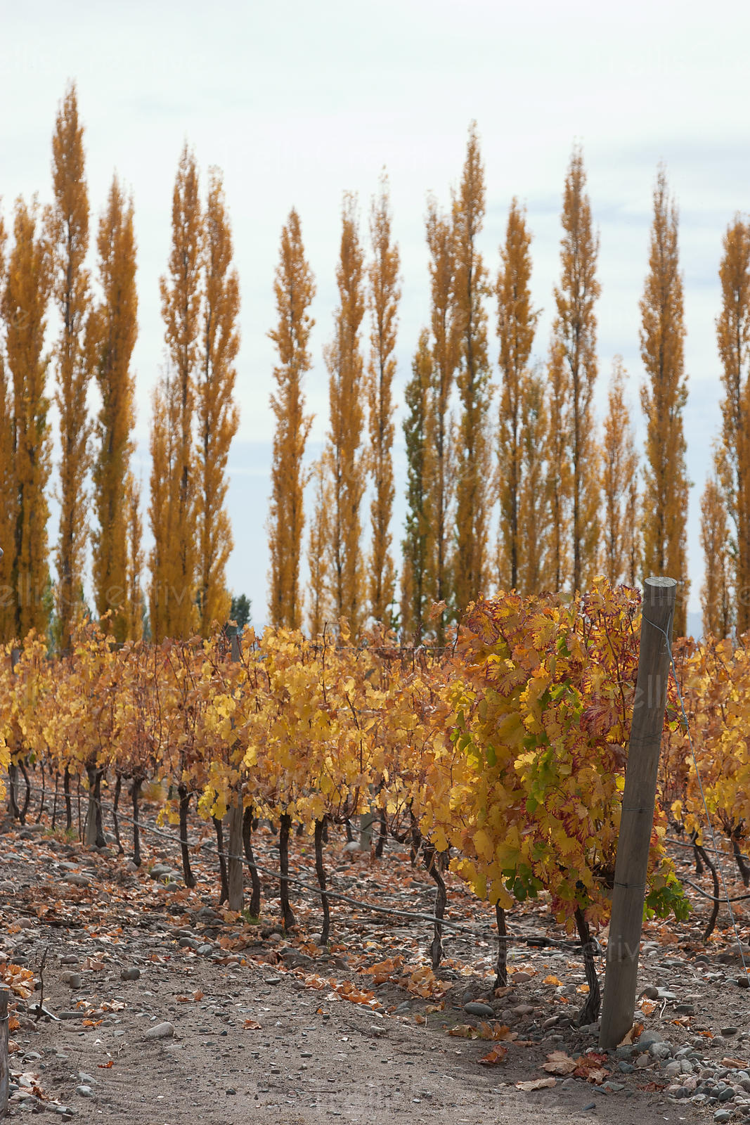 Autumn poplar trees behind one row of vines. Dusty, dirt underneath, golden leaves. Sky. One pole at end of vineyard. Portrai...