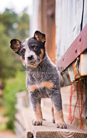 Curious young cattle dog puppy by barn