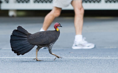 Australian Brush Turkey Alectura lathami striding along street in Noosa Queensland Australia