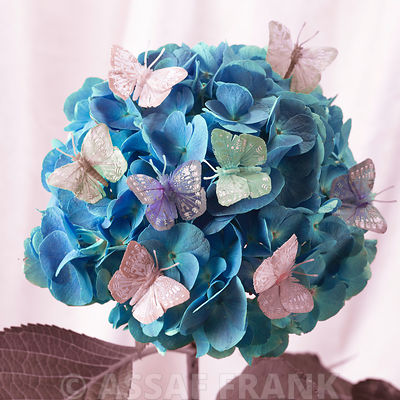 Hydrangea flower with butterflies